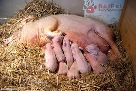 Mơ thấy lợn đẻ