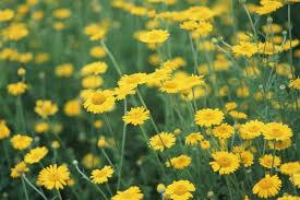 Mơ thấy hoa vàng